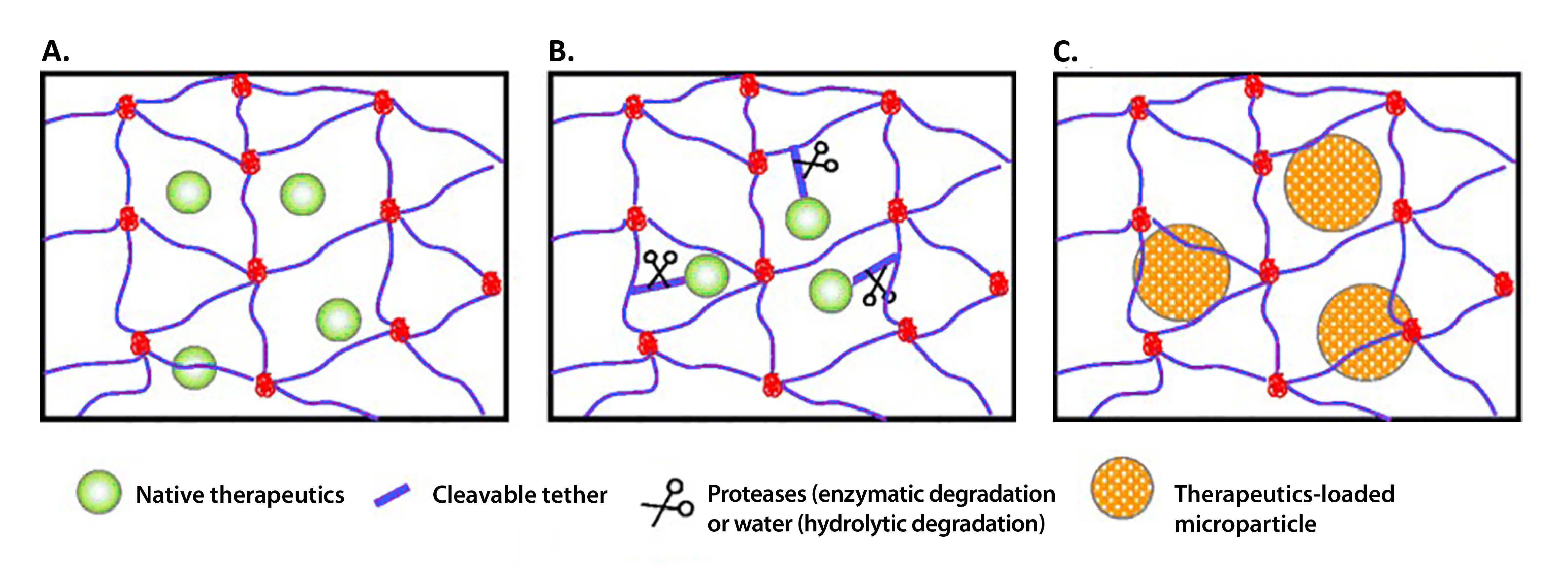 chematic structures of PEG hydrogels formed via: A chain-growth, B step-growth, and C mixed-mode step and chain growth polymerization.